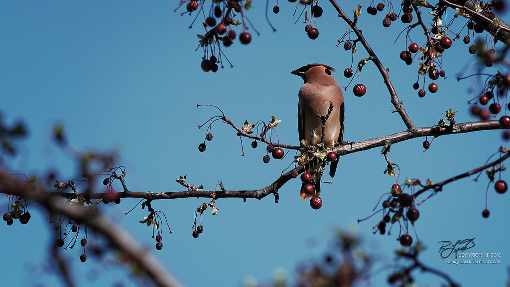 Cedar Waxwing (Diptych - Right panel)