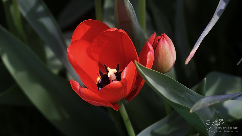 First Tulips in Red
