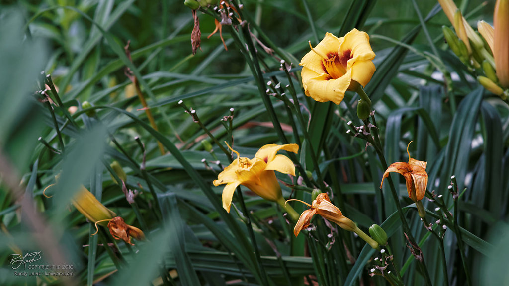 Yellow Daylillies 2