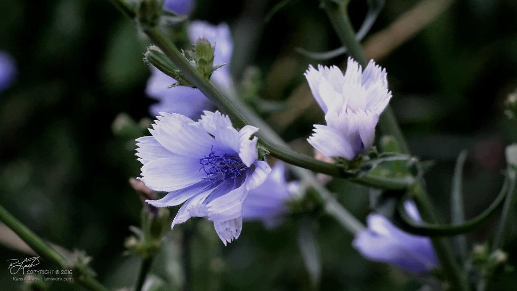 Chicory Plant