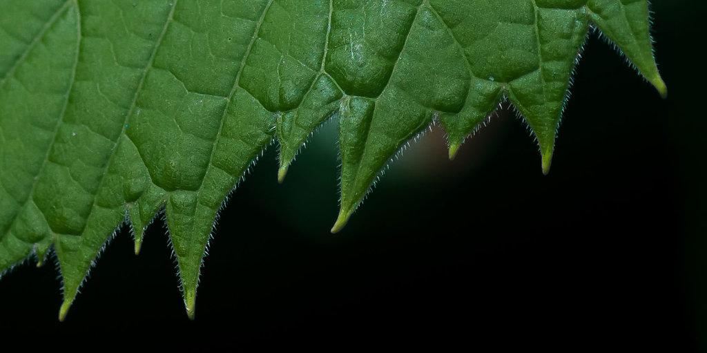 Grape-o-don teeth - Wild Grape Leaf